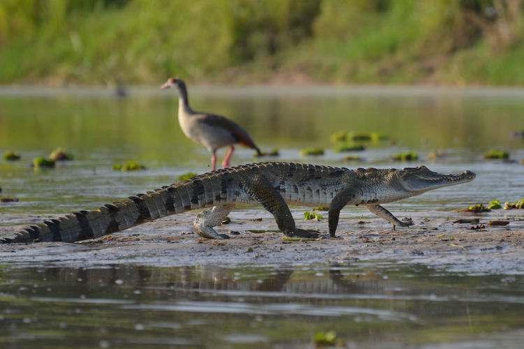 Crocodile and duck along the Nile Uganda  Africa Animal Themes Animal Wildlife Animals In The Wild Bird Day Lake Nature No People One Animal Outdoors Perching Water Waterfront
