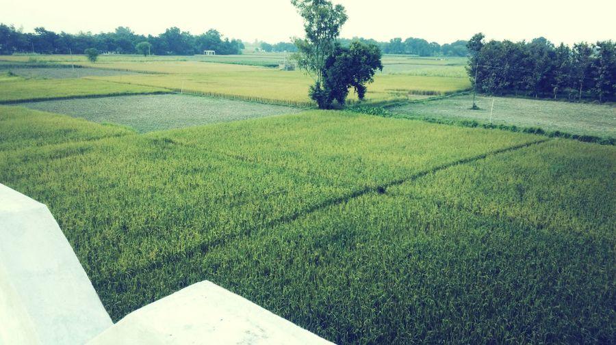 Trees Rice Field Farmhouse and Fun