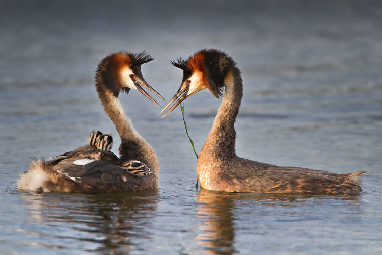 TWO GREBE BIRDS SWIMMING FACE TO FACE