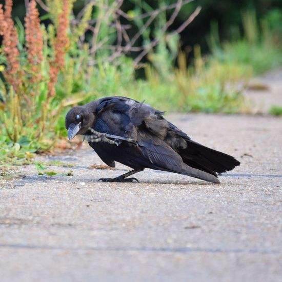 Zombie Crow Outdoors Nature Bird Scratching Itch Crow Zombie Resident Evil Blinking Lancing  Black Summer Wildlife Photography Bird Photography Day Brooklands