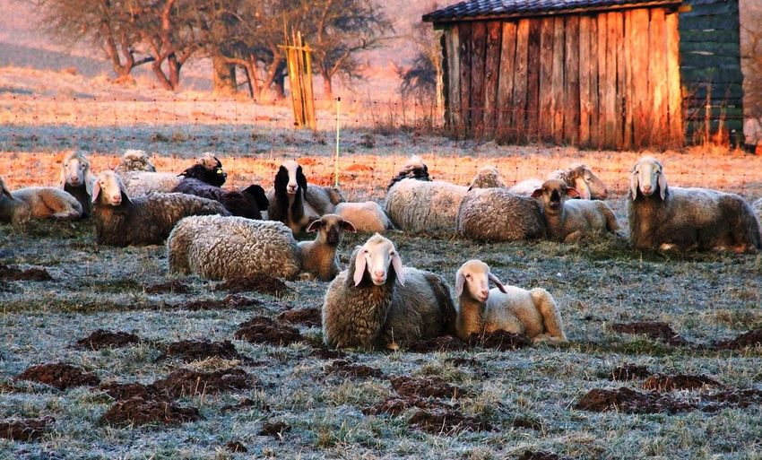 Flock of sheep resting on field