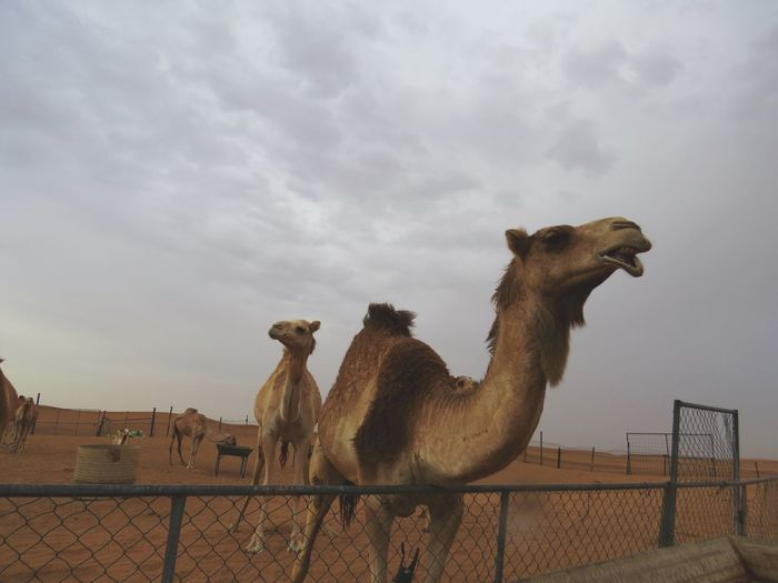 Dubai United Arab Emirates Travel Photography Eye4photography  EyeEm Gallery Camel Desert