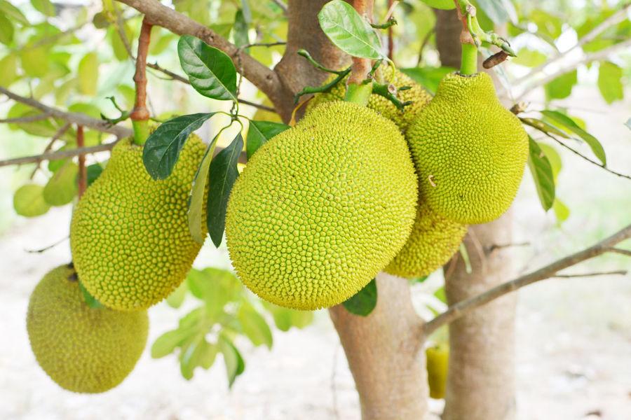 jackfruit tree hd images download