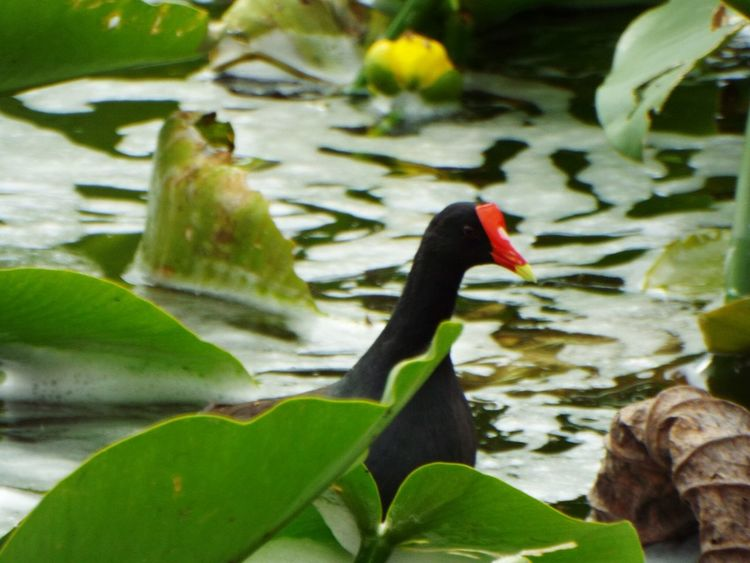 #1. An Endangered Species (Hawaiian Moorhen/ Alae,ula) that should only be in the Pacific Islands of only two islands in Hawaii but today it came to Florida. 😊 I went to the waters today before the hurricane gets here and as I took pictures a cry from behind me made me smile. In Hawaiian legend it is said these birds bring fire from the Gods. Endangered Species Endangered Animals Hawwaii Florida Secretive Native Birds🐦⛅ Bird Photography Animal Themes Water Animals In The Wild One Animal Wildlife Water Lily Tranquility Floating On Water Water Bird Beauty In Nature Nature Bird Outdoors Day Wet Solitude Legend Waterbirds