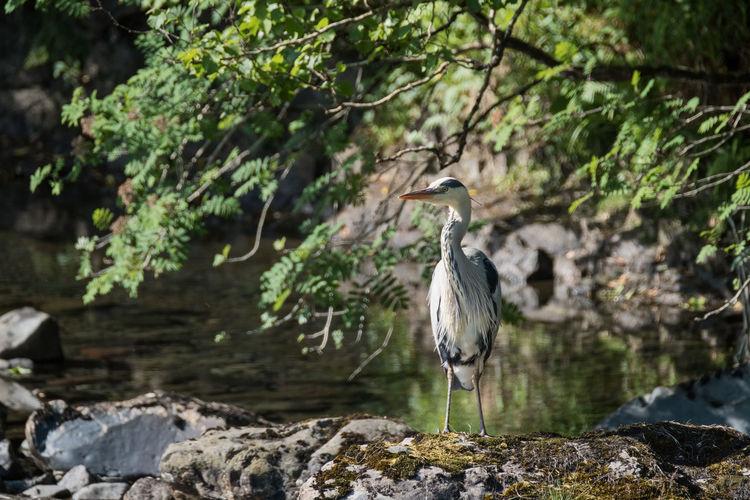 Gray heron by lake
