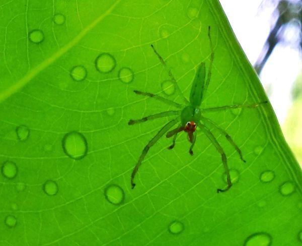 Spider Translucent Raindrops Green Leaf Veins In Leaves