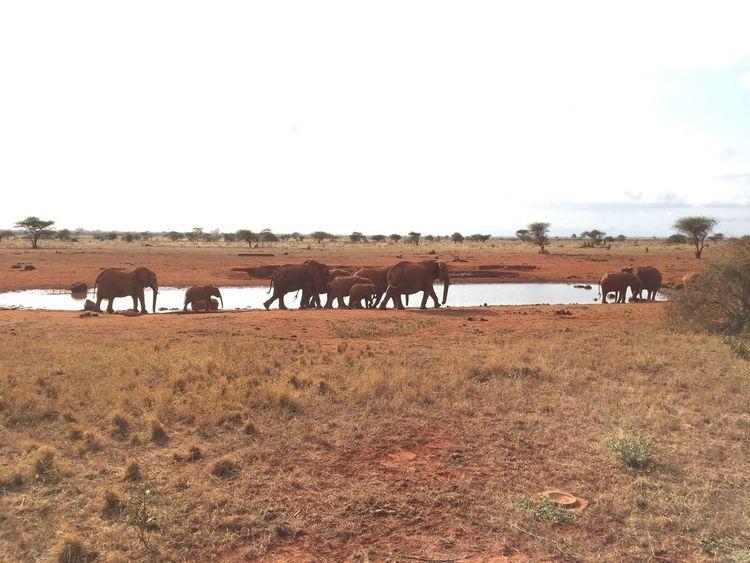 Kenia & Africa Tsavo Tsavoest Elephant Red Elephant Savannah Animal African African Safari Safari Animals Safari