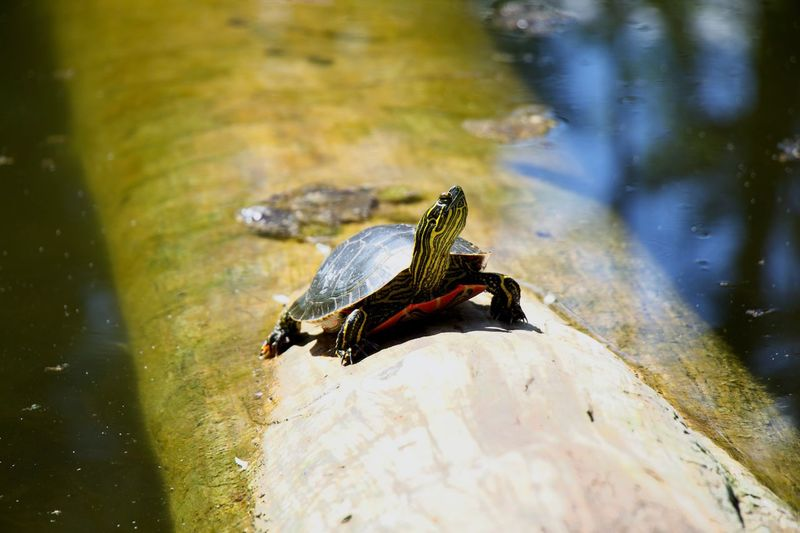 High angle view of a turtle in lake