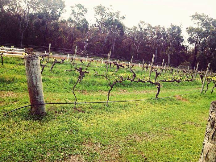 第一次如此的接近葡萄園 Red Wine Wine Tasting