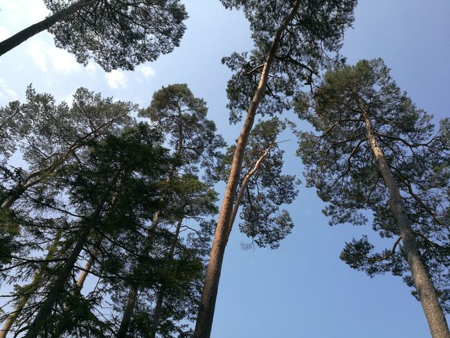 Tree Tree Area Forest Pine Tree Branch Pinaceae Social Issues Blue Tree Trunk Sky