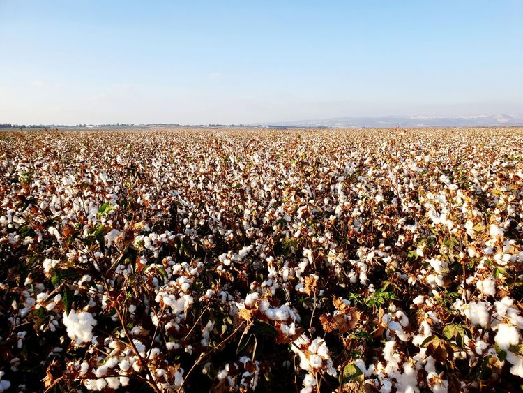 Cotton Plant Cotton Field Cotton Flower Field Flowers Flower Agriculture Clear Sky Sky Blooming Flower Head Growing