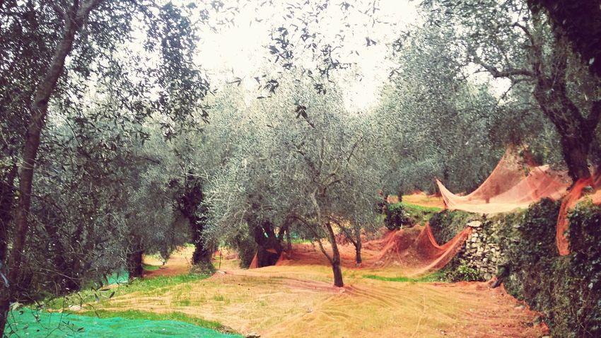 Countryside Nature Trees Olive Trees Olives Vallearroscia Liguria EyeEm Liguria