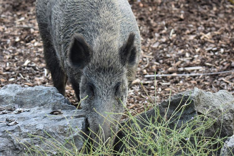 High angle view of wild boar on field