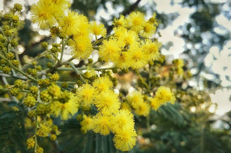 Las mimosas 🌾