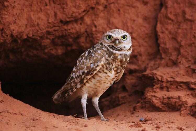 Burrowing Owl Owl Owl Art Nature Wildlife Bird Bird Photography Birds Of EyeEm  Bird Watching Utah