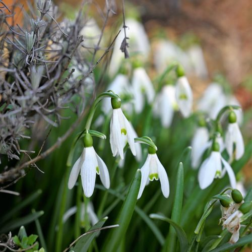 Snow drop Plant Growth Flower Beauty In Nature Snowdrop Freshness Vulnerability  Flowering Plant Fragility Close-up White Color Focus On Foreground Petal No People Nature Day Green Color Inflorescence Flower Head Selective Focus Outdoors Springtime