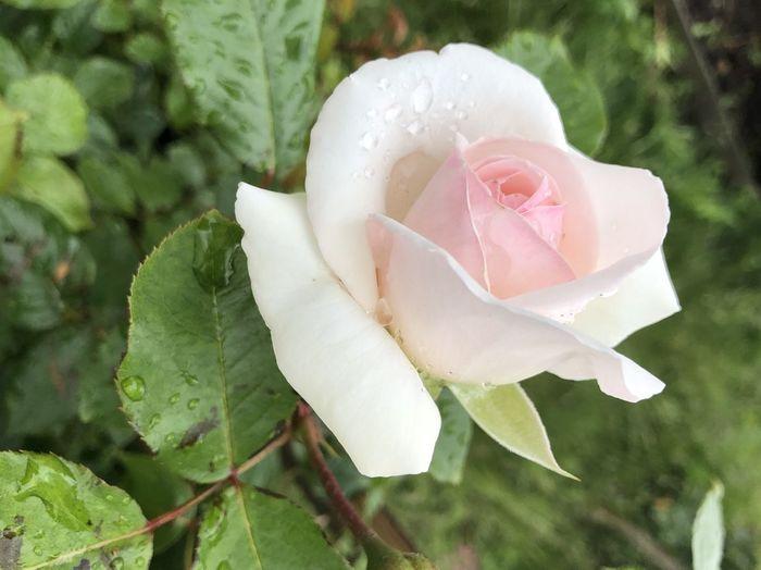 Rosé Plant