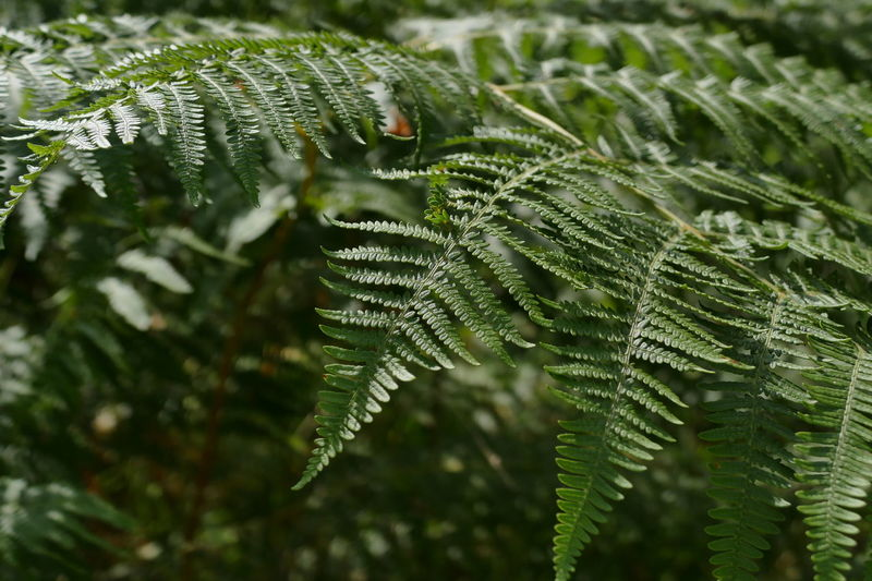 Backgrounds Beauty In Nature Bracken Close-up Color Palette Day Ferns Focus On Foreground Fragility Green Green Green Color Growth Leaf Natural Pattern Nature No People Outdoors Plant Selective Focus Tranquility Maximum Closeness Perspectives On Nature