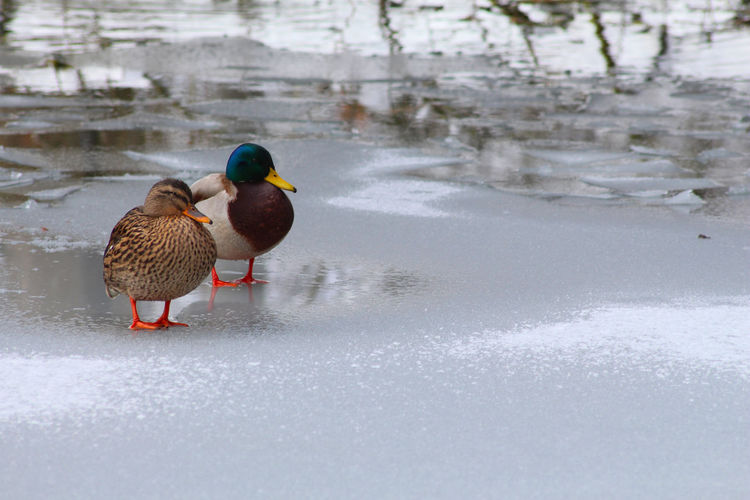 Mallard ducks in frozen lake during winter