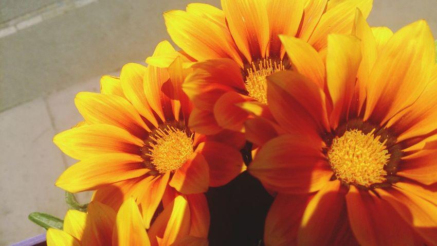 mittagsblume Flowers