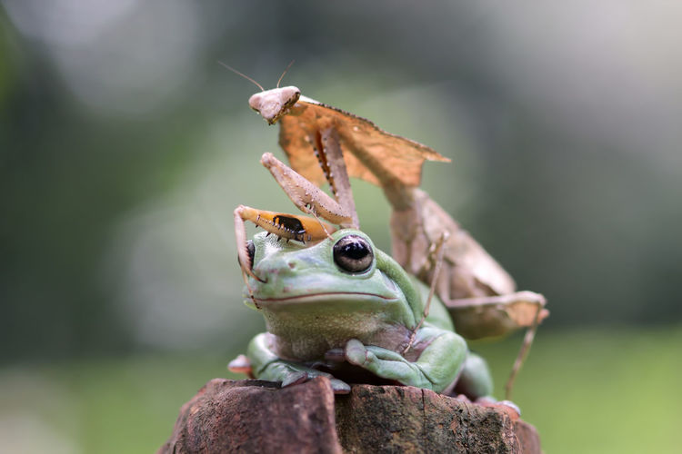 tree frog and mantis Animal Animal Themes Animal Wildlife Close-up One Animal Animals In The Wild Focus On Foreground Day No People Nature Invertebrate Frog Vertebrate Insect Amphibian Animal Body Part Selective Focus Green Color Outdoors Animal Antenna Animal Eye