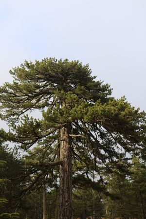 Pine Tree 500 Years Old Sky Nature Tree Big Tree Troodos No People Cyprus Nature Photography Naturelovers Nature Beauty Nature_collection Natural Beauty Wild Plant Green Color Forest Trees Forest Photography Forestwalk Nature_ Collection  Naturelover Natural Naturephotography Nature_perfection Nature Collection