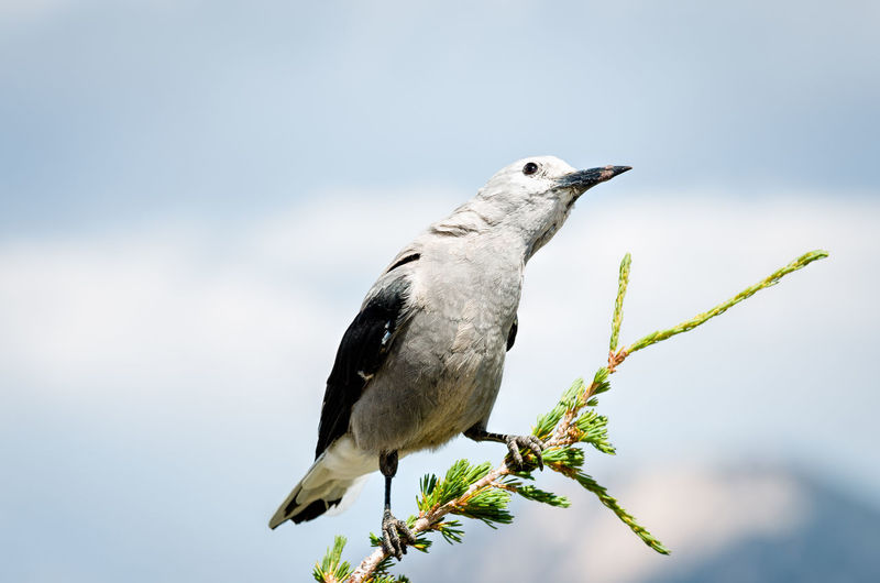 Close-up of clark's nutcracker perching on branch against sky