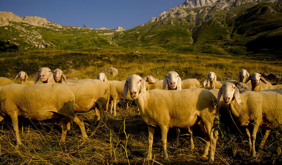 Animals In The Wild Beauty In Nature Day Flock Of Sheeps Landscape Mountain Nature No People Outdoors Sheeps Togetherness