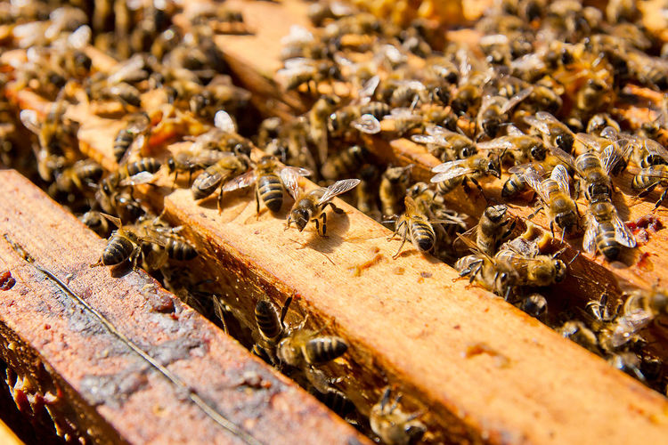 Animal Animal Themes Animal Wildlife Animals In The Wild APIculture Beauty In Nature Bee Beehive Close-up Colony Food Group Of Animals Honey Bee Honeycomb Insect Invertebrate Large Group Of Animals Nature No People Outdoors Selective Focus Wood - Material