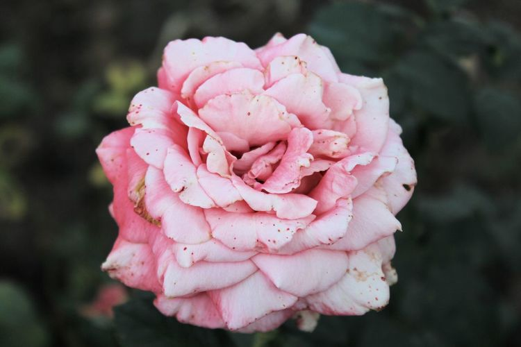 Pink Color Flower Nature Peony  Close-up No People Plant Flower Head Beauty In Nature Outdoors Day Fragility