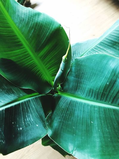 Banana Leaf Green Color Banana Tree Leaf Nature Day Outdoors Beauty In Nature No People Close-up Freshness Musa Bananenplant Groene Kamerplant Green House Plant