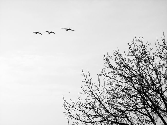 Birds Of EyeEm  Black & White Scenic Tranquility Animal Themes Bare Tree Beauty In Nature Bird Black And White Black And White Nature Black And White Tree Blackandwhite Brances And Birds Day Flying Low Angle View Mid-air Nature No People Outdoors Sky Spread Wings Tree Tree And Birds Wildlife Shades Of Winter