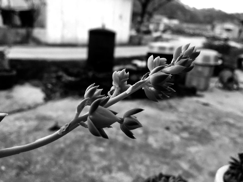 Flower Nature Focus On Foreground Petal Fragility Plant Growth No People Flower Head Close-up Beauty In Nature Monochrome Blackandwhite IPhoneography Succulents EyeEm Selects EyeEmNewHere