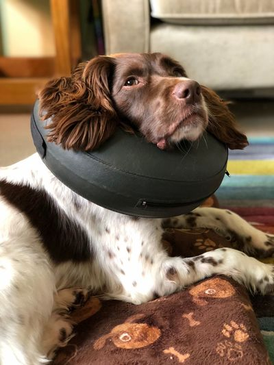 Buster Collar Springer Spaniel One Animal Mammal Pets Domestic Animal Animal Themes Dog Domestic Animals Looking No People