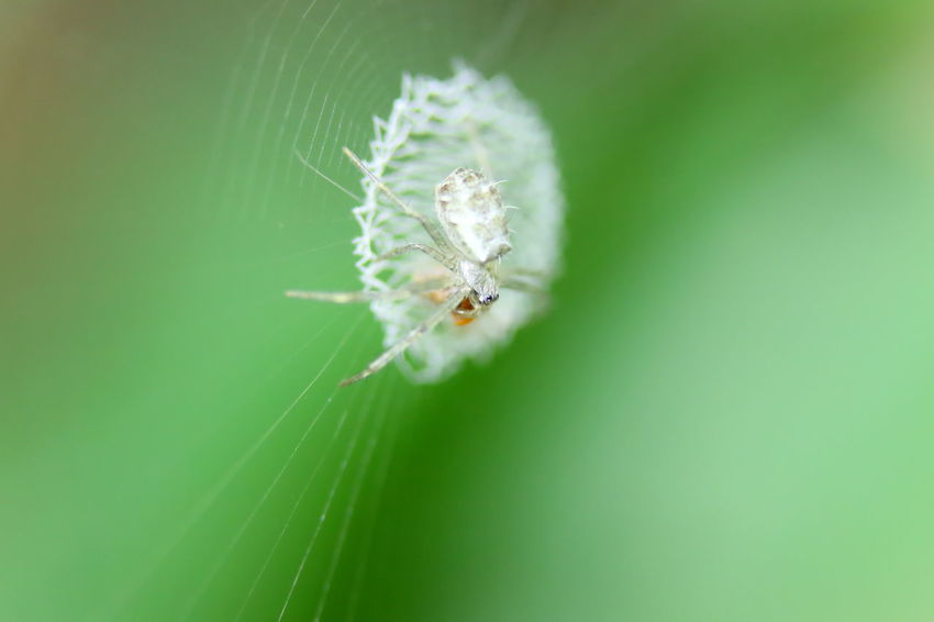 Animal Animal Themes Animal Wildlife Animals In The Wild Arachnid Arthropod Backgrounds Beauty In Nature Close-up Day Fragility Green Color Insect Invertebrate Nature Nature Backgrounds One Animal Outdoors Selective Focus Spider Spider Web Wallpaper Zoology