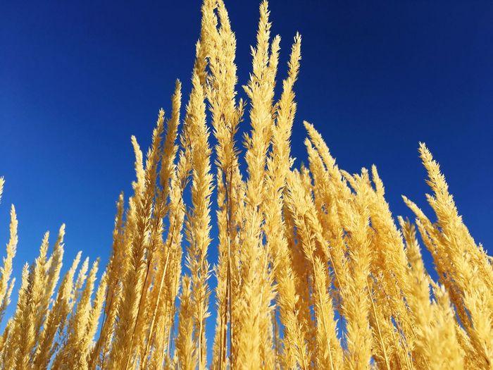 Wheat Wheat Field Sky Blue Sky Harvest First Eyeem Photo Harvest Time Harvest Season Summer Fall Colors