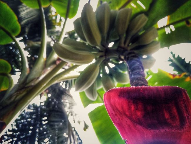 Tree banana treeGrowth Nature No People Plant Green Color Day Outdoors Red Close-up Beauty In Nature Freshness Sky