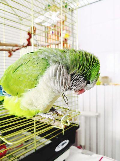 Parrocchetto Monaco Parrot Love Parrocchetto Greenhouse Pets Close-up Plant Green Color