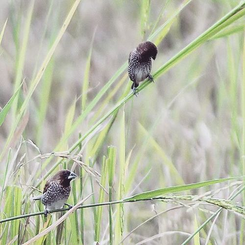 After rice fields harvest. Ricefield Birds Birding NatureShoot Birdsporn Birds Birdsofinstagram Couple Pair Nice Cool Photooftheday