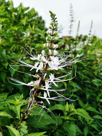 Cat Whisker White Flower Nature Close Up Photography