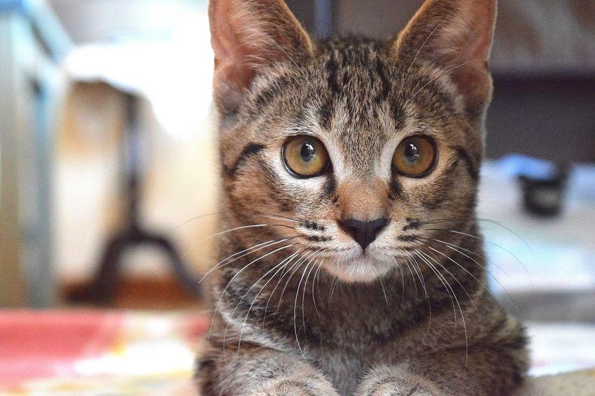 Cat 猫 Jelly シェリー 家猫 Housecat 家 House