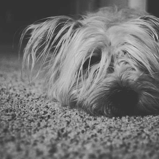 Sabaka Dog Pet Carpet Upclose  Bnw Blackandwhite Animals Cute Nikon D3300