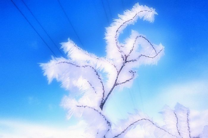 Ice Fairy❄ Beauty In Nature Trees And Sky Trees And Nature 木 Japan Cold Temperature Winter No People Tree Nature Sky Blue Sky Blue Frozen Leaves Close-up Outdoors Day Winterlandscapes Tranquility 冬 Hokkaido Low Angle View Cold Outside ❄⛄  Very Cold Morning Ice Fairy