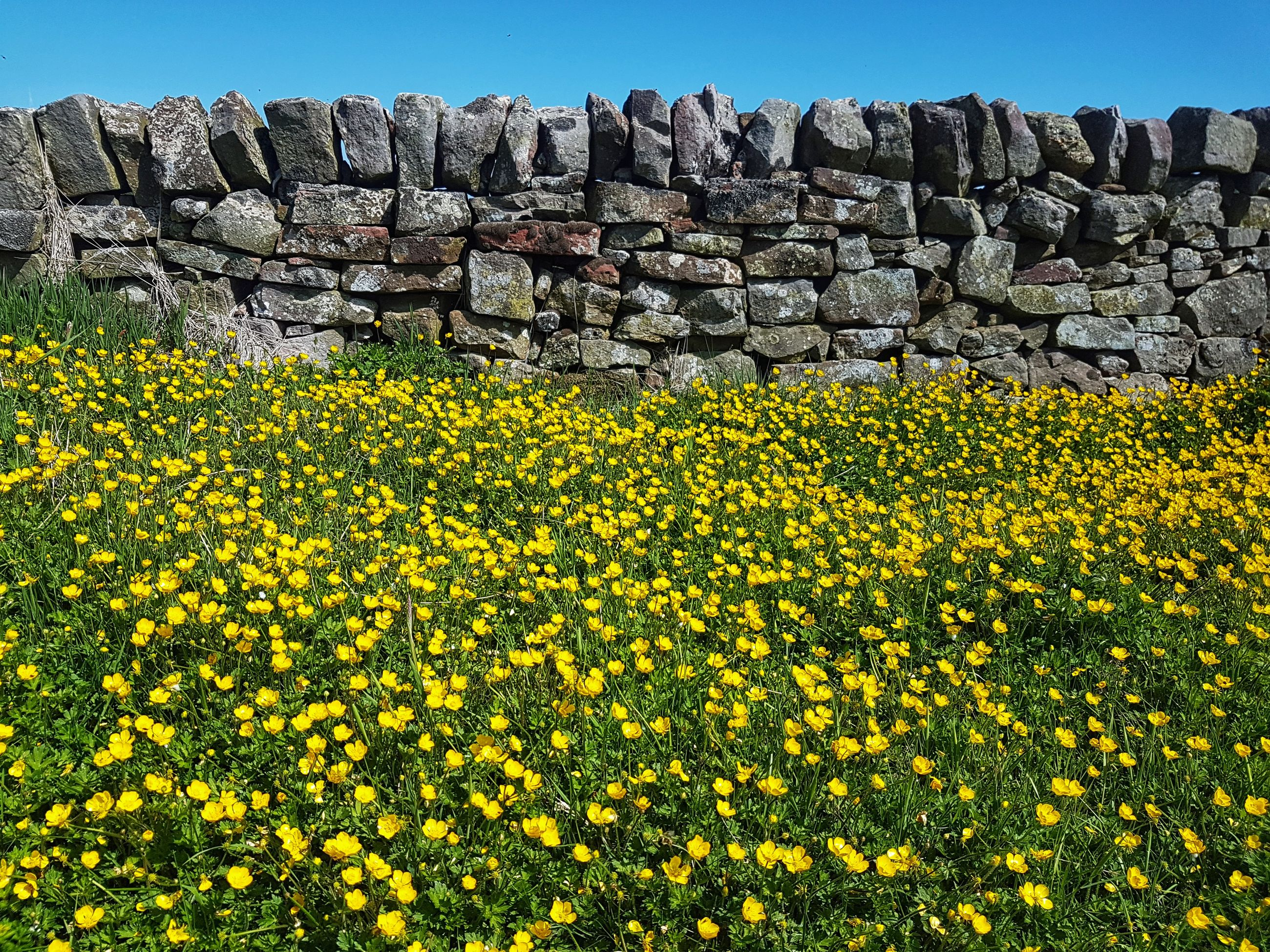 flower, flowering plant, plant, beauty in nature, yellow, nature, day, no people, growth, land, field, freshness, tranquility, tranquil scene, architecture, clear sky, sky, abundance, outdoors, fragility, stone wall