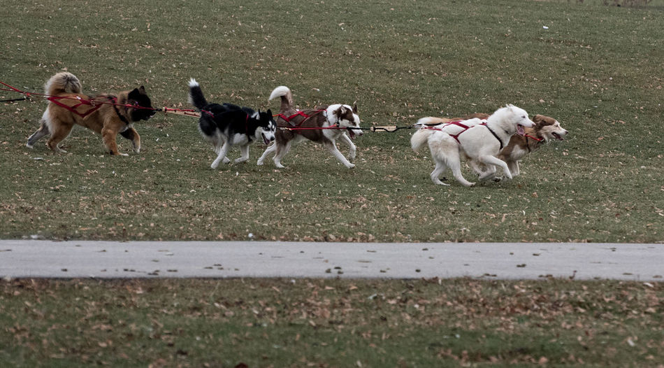 View Of Sled Dogs On Grass