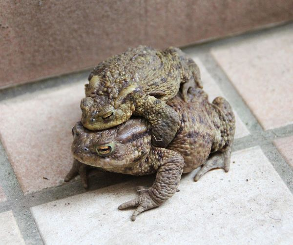 Toads mating time Animal Animal Themes Animals In The Wild Brown Frog Mating Mating Time Nature No People One Animal Toads Wildlife