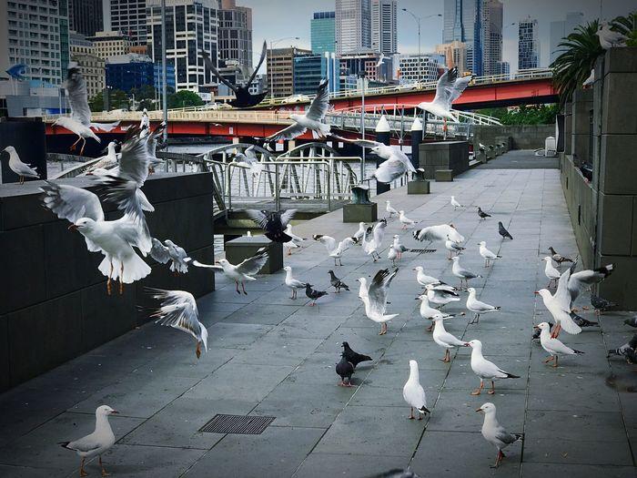 Flock of birds in city