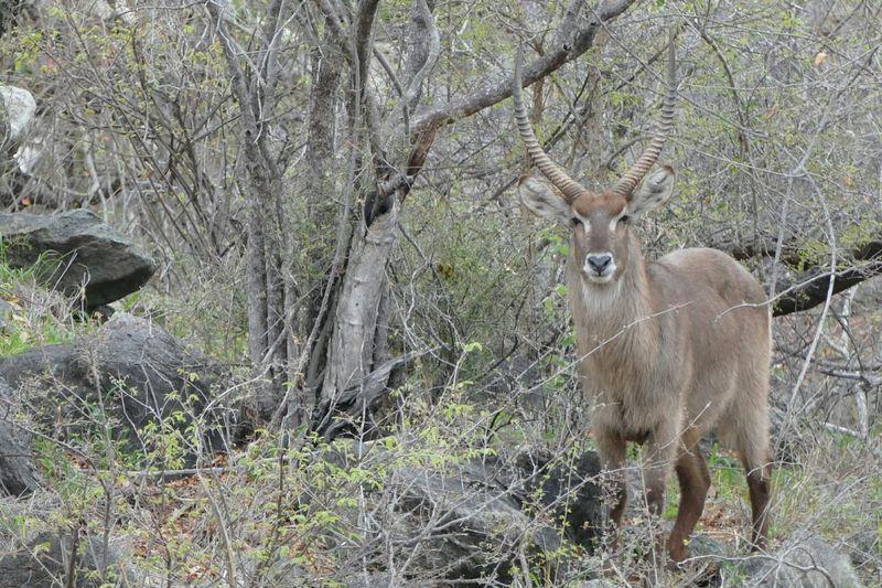 Kruger Park Klaserie Game Drive Animals Animal South Africa Nature Wildlife Waterbuck Safari Savannah Nature's Diversities The Great Outdoors - 2016 EyeEm Awards