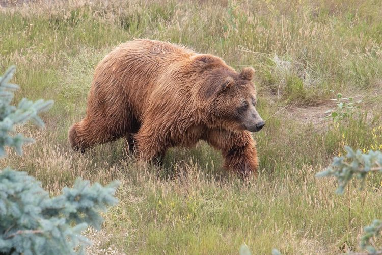 Grizzly Bear EyeEm Selects Animal Themes Animal One Animal Mammal Animal Wildlife Vertebrate Bear Grass Outdoors Field Nature No People