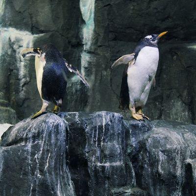 Say hello to my Cute little Penguin friends @thedubaimall ? Natureaddict Animalsaddict